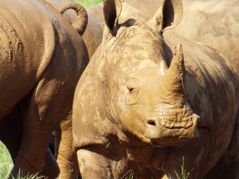 Rhinos loving mud - don't it make a white rhino brown.