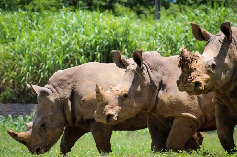 A crash in the grass - three four-year-old white rhinos enjoy a dig and a graze at Nashville Zoo.