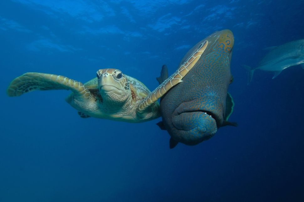 The winner of the Under The Sea category shows a green turtle vs. a Napoleon wrasse.