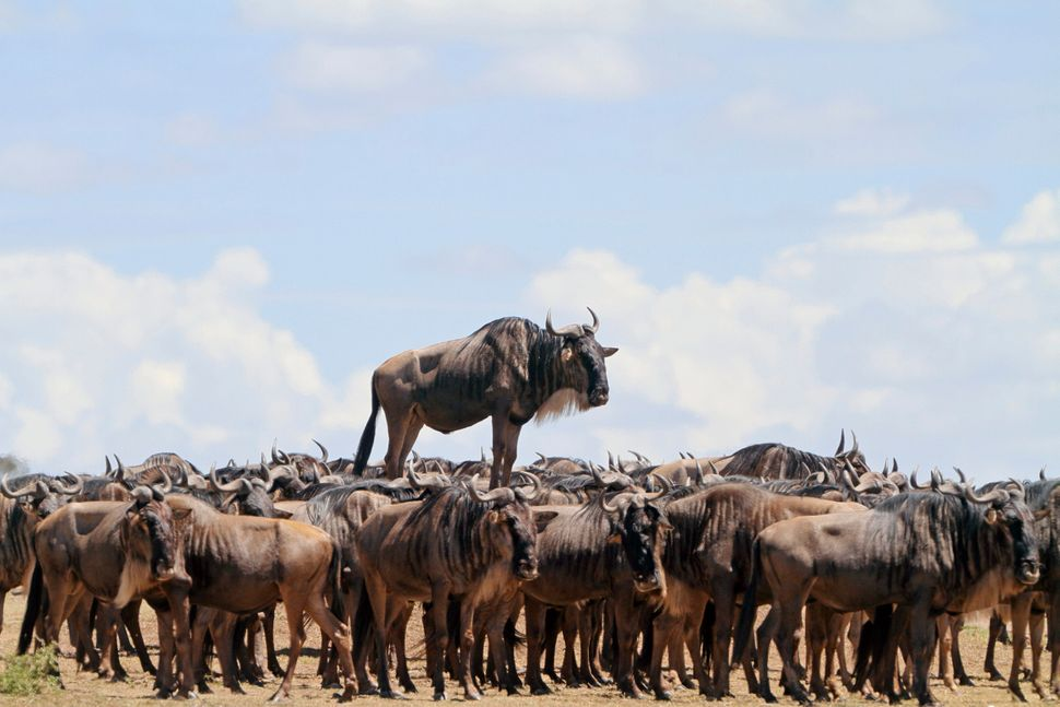 One blue wildebeest gets a better view in Masai Mara, Kenya.
