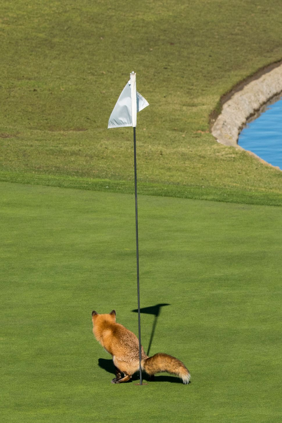 "A red fox relieves itself in San Jose, California, in Douglas Croft's ""Must Have Three-Putted."""