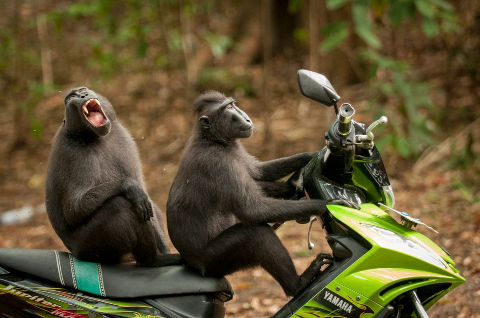 "Two monkeys ""test drive"" a motorbike parked near the entrance to the Tangkoko Batuangus Nature Reserve in Indonesia."