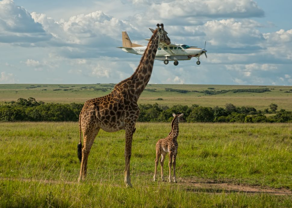 "A giraffe in Masai Mara, Kenya, in Graeme Guy's ""Outsourcing Seatbelt Checks."""