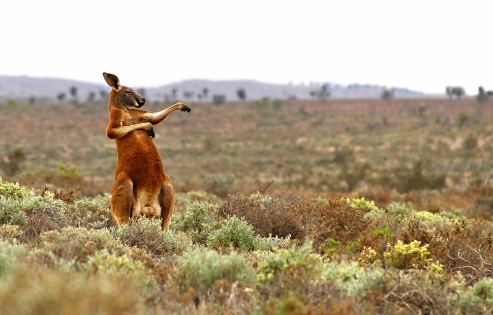 "A red kangaroo in Andrey Giljov's ""Kung Fu Training - Australian Style."""