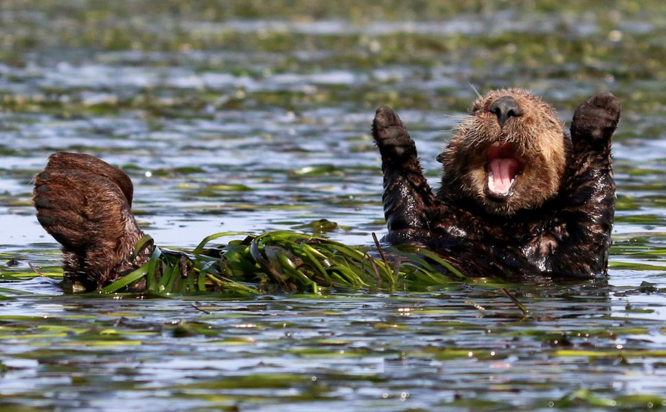 An adorable sea otter in Elkhorn Slough, California.