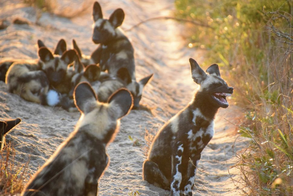 An African wild dog in South Africa's Tembe Elephant Park apparently heard a really funny joke.