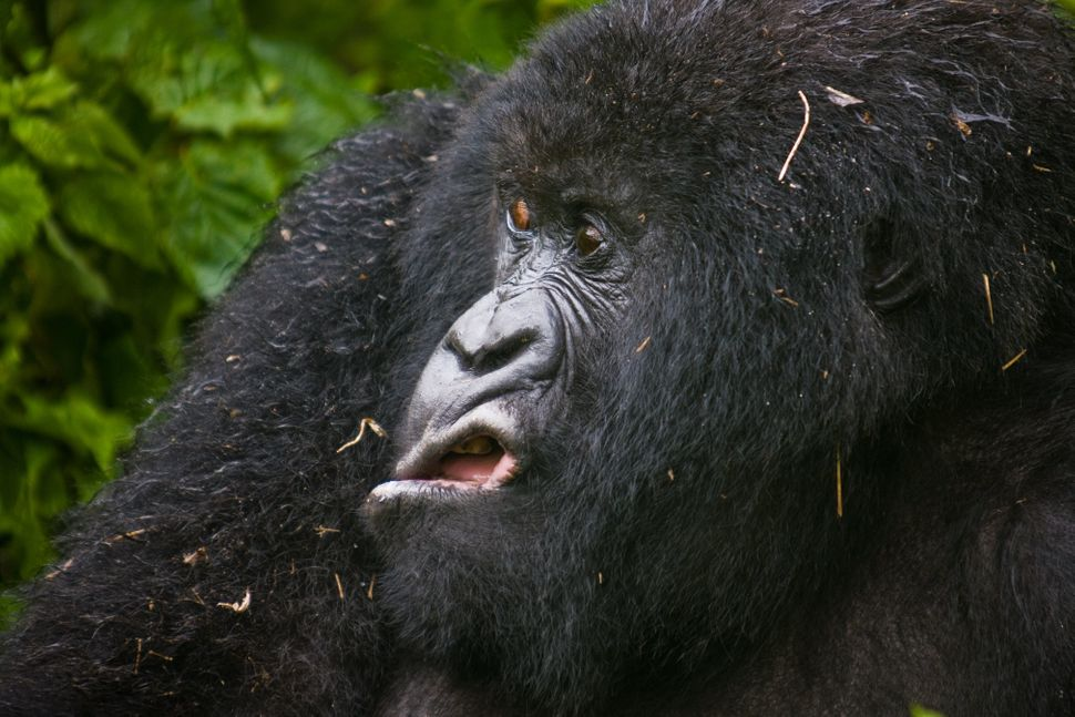 A mountain gorilla in Virunga National Park comes out of the bush after the rain.