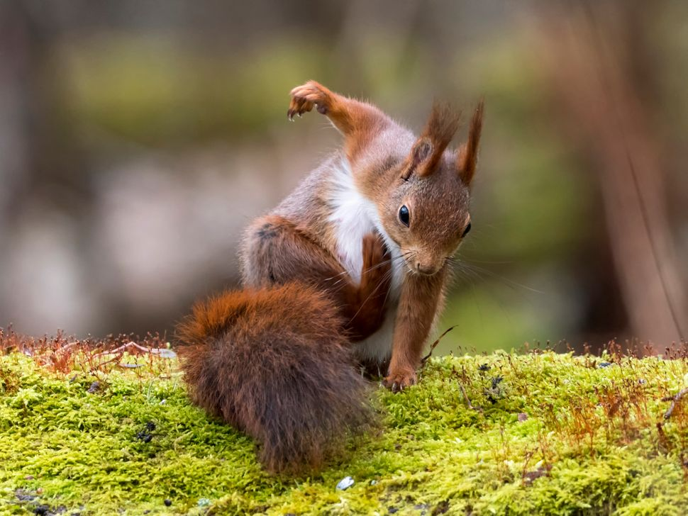 A squirrel scratches itself in Gothenburg, Sweden.