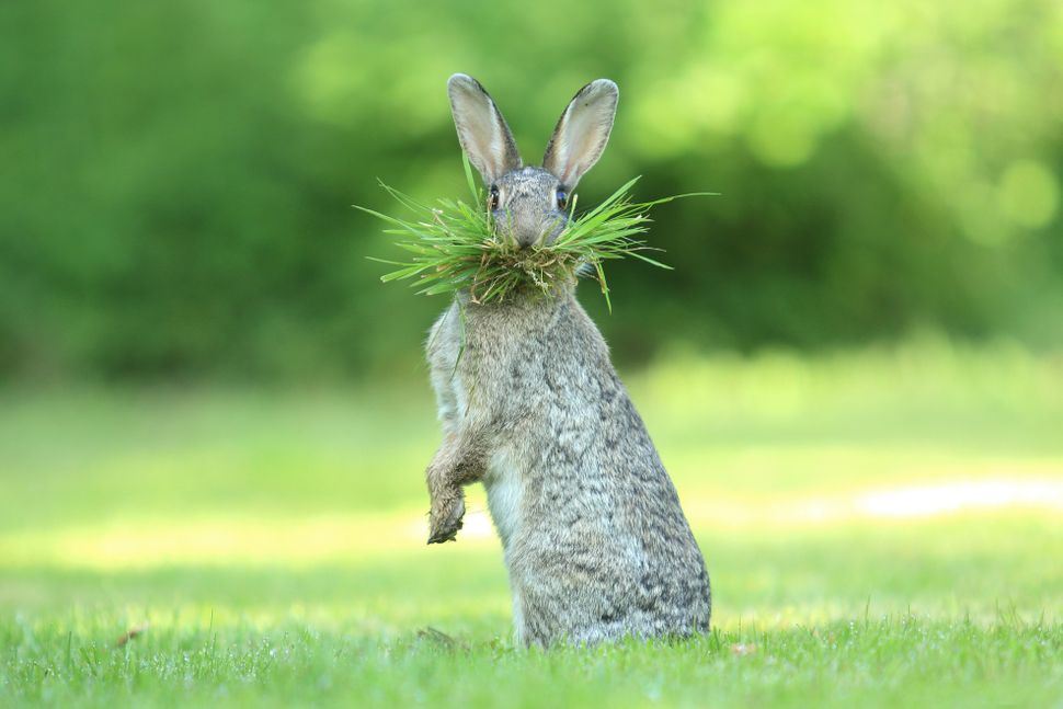 A wild rabbit collects nesting material in Bredene, Belgium.