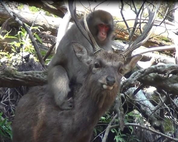 A female macaque and her sika