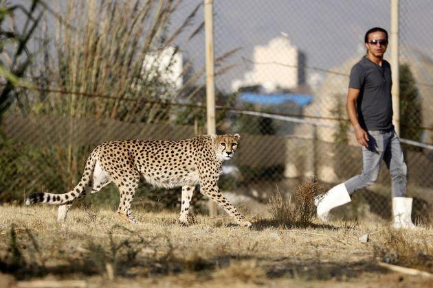 Iranian animal trainer Mahmud Keshvari walks next to a female Asiatic cheetah named Dalbar in an enclosure...