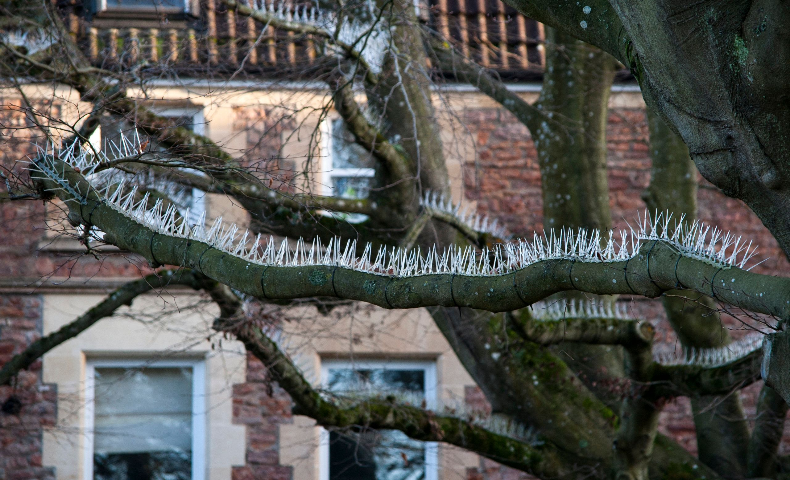 "Pigeon spikes that have been attached two trees which overhang the parking area outside a posh property in Clifton, Bristol. See SWNS story SWSPIKES; A Twitter user has expressed outrage at the use of 'anti-bird spikes' in Clifton trees to protect expensive cars from droppings. The spikes – which are usually used to stop birds resting and building nests on ledges and nooks on buildings – have been nailed to two trees in the front garden of Essendene House and Heathfield House between Clifton Down and Pembroke Road. The properties are privately owned flats and one resident has confirmed the spikes are ""solely to to protect cars"" - which include a number of expensive BMWs and Audis - from bird poo. The measure has upset social media manager Jennifer Garrett, who took to Twitter to vent her frustration. She said: ""Our war on wildlife: now birds are not allowed in trees...?!"