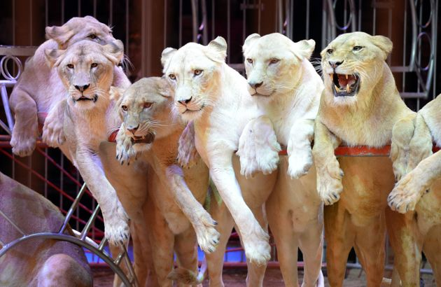 Wild animals like lions, elephants, bears and camels frequently feature in traveling