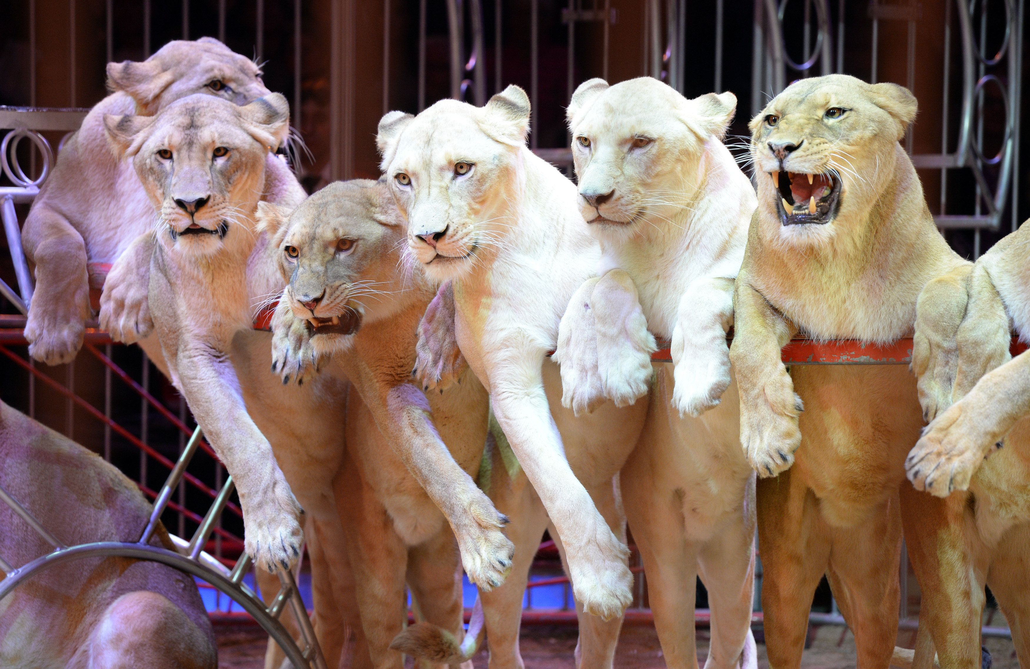Wild animals like lions, elephants, bears and camels frequently feature in traveling circuses.