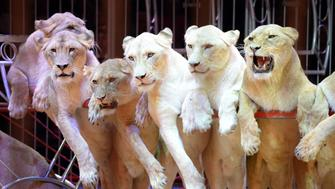 MUNICH, GERMANY - DECEMBER 25:  Lions pose during the Circus Krone Christmas Show at Circus Krone on December 25, 2013 in Munich, Germany.  (Photo by Hannes Magerstaedt/Getty Images)