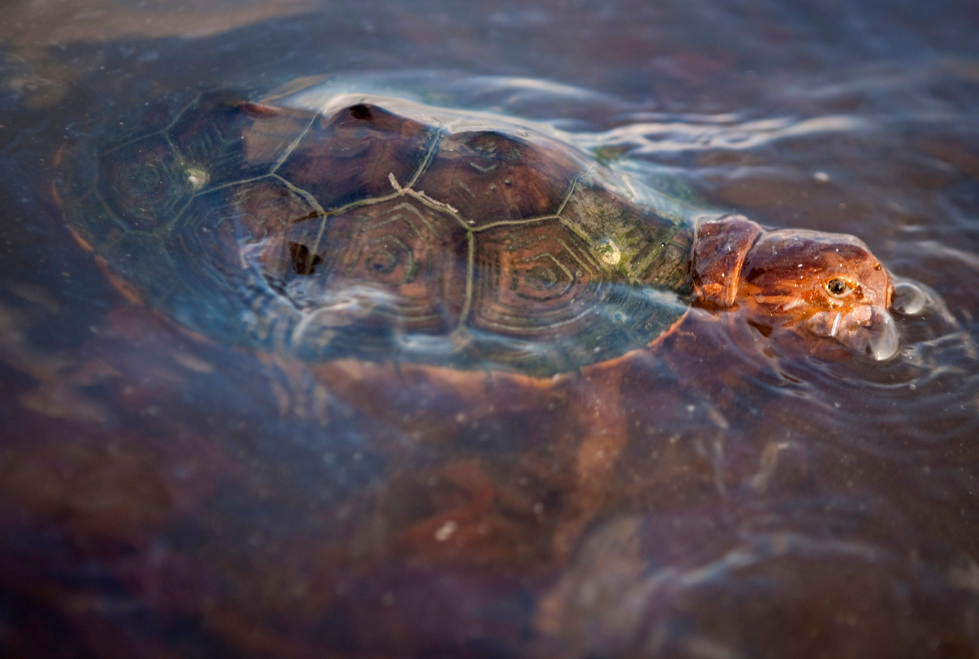 A turtle swims through  oil-covered water after the Deepwater Horizon spill disaster