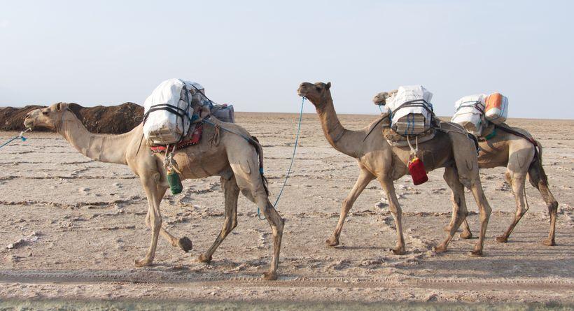 Camels at the salt lake near Hamed Ela