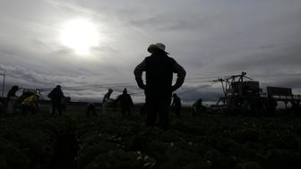 "Foreman Roberto Navarrete, 30, supervises migrant farmworkers with H-2A visas as they harvest romaine lettuce in King City, California, U.S., April 17, 2017. REUTERS/Lucy Nicholson  SEARCH ""H-2A NICHOLSON"" FOR THIS STORY. SEARCH ""WIDER IMAGE"" FOR ALL STORIES."