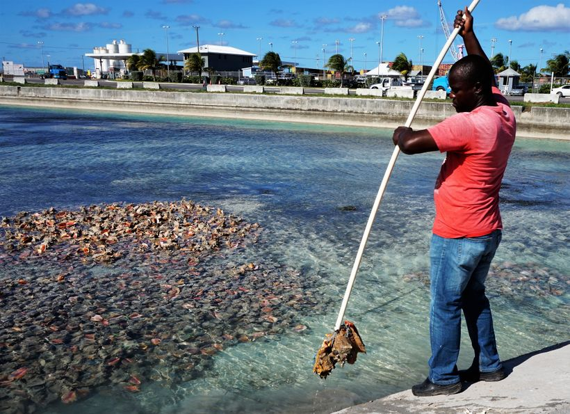 Pulling conch out of the sea, where it is kept alive until serving