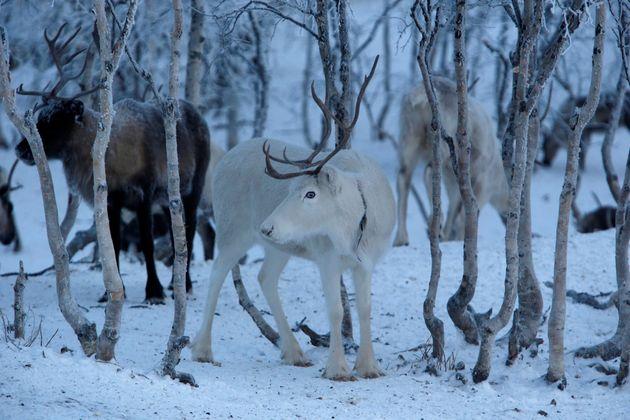 Η Νορβηγία διέταξε την σφαγή ταράνδων παραμονές