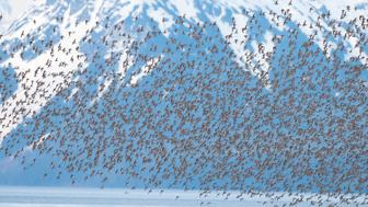 PRINCE WILLIAM SOUND, AK - MARCH 18. EXCLUSIVE: Flocks of hundreds of thousands of Western Sandpipers mixed with Dunlin Sandpipers take of from the mudflats of the Copper River Delta to fly north during their annual spring migration, photographed on March 18, 2007 in Prince William Sound, Alaska. An incredible project by one man has captured the awesome sight of birds flocking together across both hemispheres of the planet. Just like the birds he caught on their colossal migrations photographer Florian Schulz travelled over 100,000 thousands of miles to document nature's great events.  Using a two-seater WWII aeroplane - a Piper Cub - Florian, 35, from Germany, soared to over 1000ft thousand feet and captured birds on the wing in Alaska and Canada and Mexico. The plane is nimble and allowed Florian to land almost anywhere in his project - while he slept in a bivouac and his pilot slept in the plane. He even braved -1.5 Celsius temperatures to capture Thick Billed Murre's underwater before snapping them from above in his plane. Other species captured on film in his trip included sandpipers in Prince William Sound, Alaska. Eight million of the birds pass through the area over a week as they migrate from Mexico to the Arctic Tundra. He also caught frigate birds in the Yucatan Peninsula, Mexico, and American Avocets wading in the afternoon sun on the Colorada River Delta, Mexico. (Photo by Florian Schulz / Getty Images)