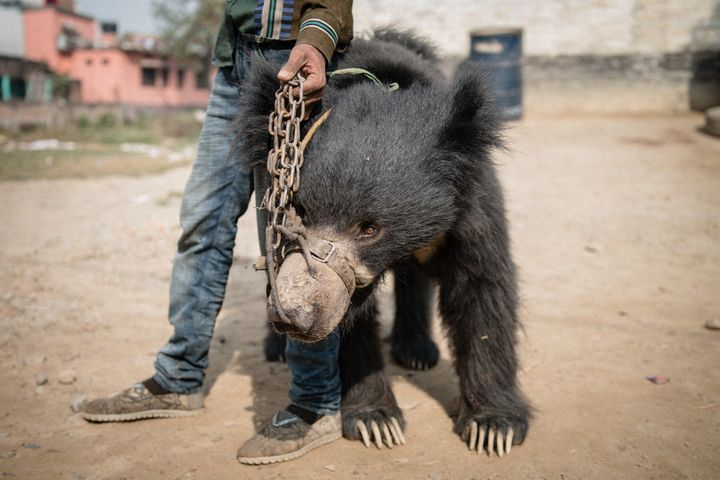 The bears confiscated from handlers in Nepal had suffered years of cruelty, animal protection groups say.
