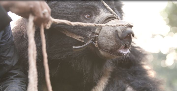 One of the bears being led to a temporary living situation at a Nepal national park.