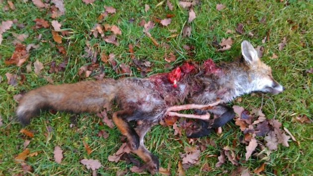 Hunt Saboteurs posted this graphic picture of a fox allegedly killed by hounds during the