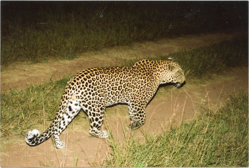 Leopard in South Africa