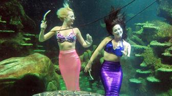 Stayce McConnell (left) and Marcy Shannon, members of the Weeki Wachee Mermaids synchronised underwater aquabatics troupe swim with a turtle in the Ocean Reef display at the Sea Life London Aquarium.