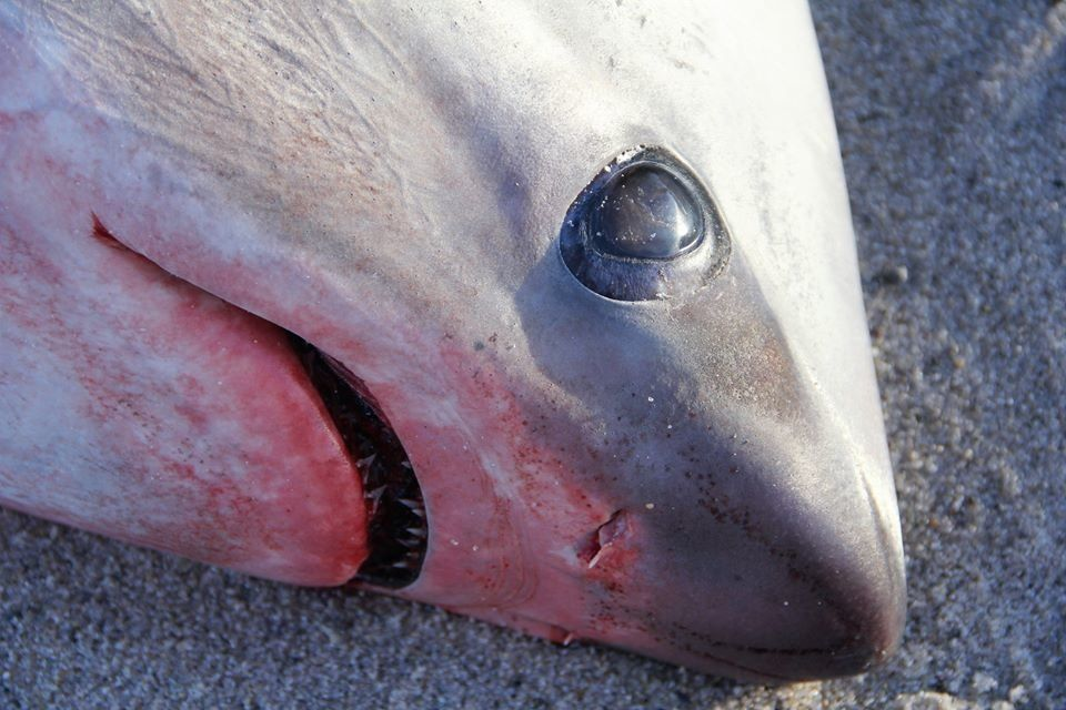 A thresher shark lies dead on a Cape Cod beach