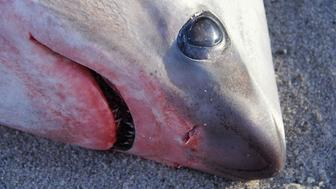 A thresher shark lies dead on a Cape Cod beach