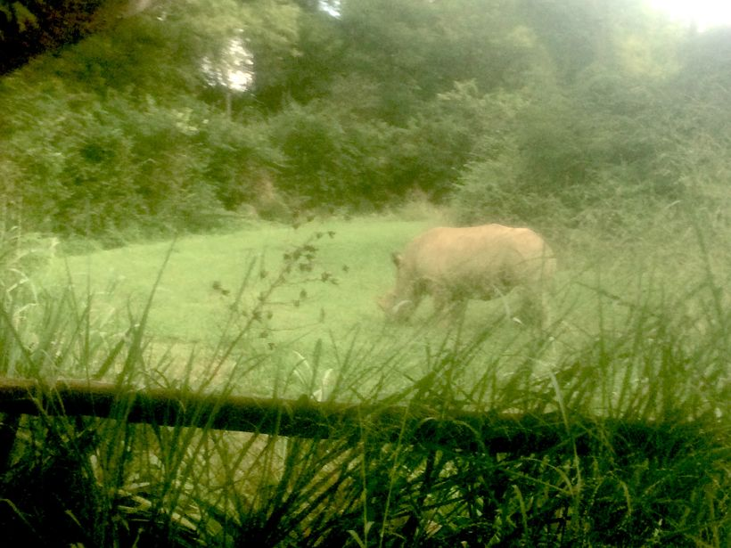 Finding rhino in a clearing - Nashville Zoo