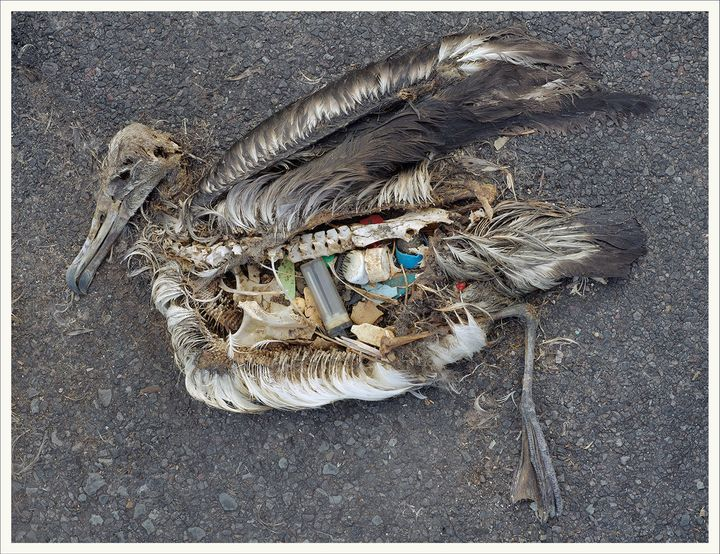 'In my eight trips to Midway I lost count of how many birds I witnessed choking on cigarette lighters, toothbrushes, bottle caps, and other plastic junk.'