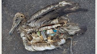 Dead albatross on Midway Island its stomach filled with plastic