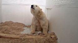 Berliner Eisbärenjunges ist