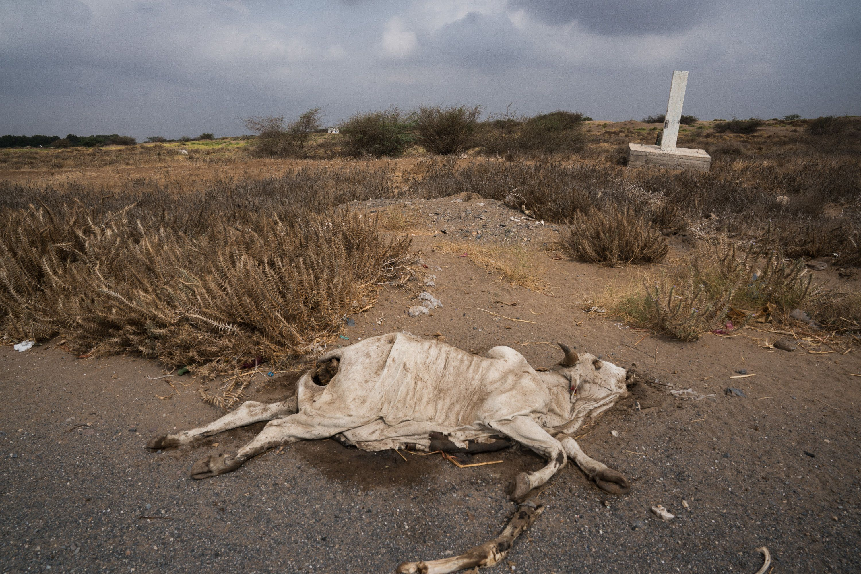 AL HUDAYDAH, YEMEN - APRIL 19, 2017. A dead cow lies beside the main road leading out of the port town of Al Hudaydah. Locals tend to avoid dead carcasses as some have been known to be filled with Improvised Explosive Devices (IED). (Photo by Giles Clarke, UN OCHA / Getty Images)
