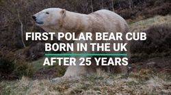 First Polar Bear Cub Born In UK After 25