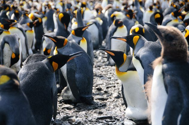 King penguins at Salisbury Plains, South Georgia, near Antarctica. King penguins are able to withstand...