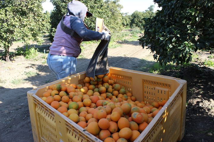 "Workers earn $21 for each orange bin they fill in a grove that sits in Kern County, California. ""It's a priority for us"