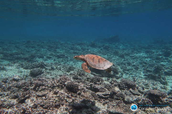 A turtle swims over a reef destroyed by bleaching.