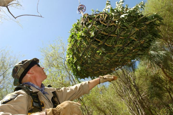 Campaign Against Marijuana Planting Special Agent Dennis Ford guides a bale of pot plants as it's lifted out by a helico