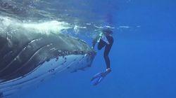 Hai will Taucher attackieren – dann taucht plötzlich ein 23 Tonnen schwerer Wal auf