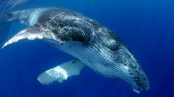 Τεράστια φάλαινα προστατεύει δύτη από καρχαρία βάζοντάς την κάτω από το