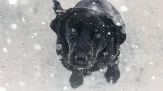 Dog, Snow, Black Labrador, Winter, Pets