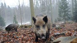 Afrikanische Schweinepest ist für Menschen ungefährlich: Wieso sie dennoch jeder kennen