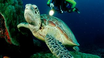 (GERMANY OUT) Green sea turtle and scuba diver, Chelonia mydas, Australia, Great Barrier Reef  (Photo by Reinhard Dirscherl/ullstein bild via Getty Images)