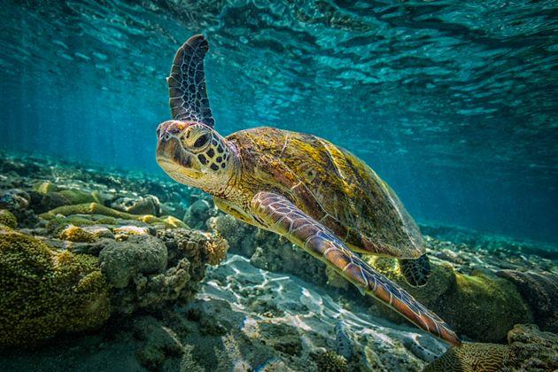 A green turtle in Australia's Great Barrier