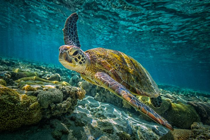 this sea turtle population is almost all female thanks to climate