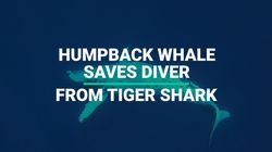 Humpback Whale Saves Diver From Tiger